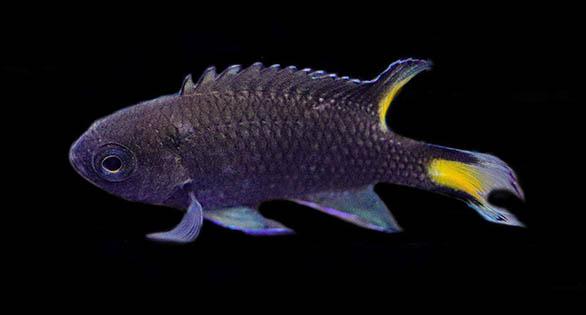 Biota Breeds Neopomacentrus azysron