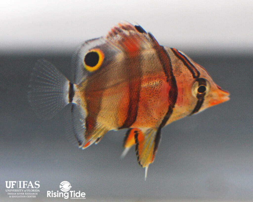 A pre-settlement juvenile captive-bred Copperband Butterflyfish, Chelmon rostratus, at 57 days post hatch. Image provided by Rising Tide Conservation/University of Florida.