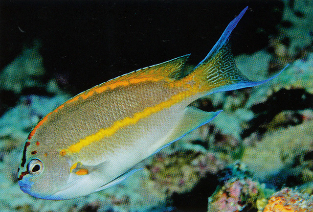 Dominant, large specimens of the Bellus Angelfish will ultimately transition into the male role, with completely different coloration. Image credit: Gerald R. Allen