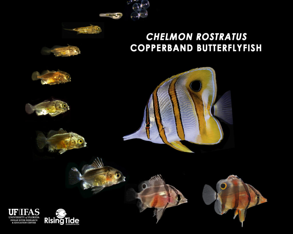 Larval progression documenting the development of the world's first captive-bred Copperband Butterflyfish, Chelmon rostratus. Image provided by Rising Tide Conservation/University of Florida.