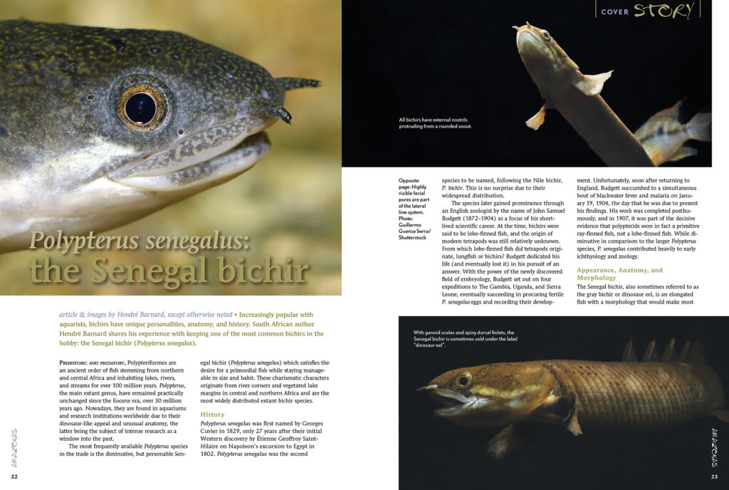 Increasingly popular with aquarists, bichirs have unique personalities, anatomy, and history. South African author André Barnard shares his experience with keeping one of the most common bichirs in the hobby: the Senegal bichir (Polypterus senegalus).