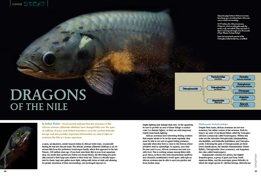 Fossil records indicate that the ancestors of the African arowana (Heterotis niloticus) have changed little over the span of millions of years. Josh Pickett introduces us to the ancient Heterotis lineage and also provides important information on what it takes to maintain the fish in a home aquarium.