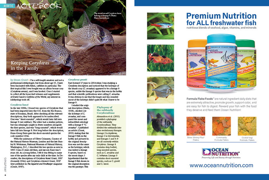 Aquatic Notebook features shorter stories and articles of interest to freshwater aquarists. In this issue we showcase a new species of filament barb from the Western Ghats, and shown here, Steven Grant looks at his involvement in the taxonomic description of multiple Corydoras catfishes. Watch the AMAZONAS YouTube Channel for an exclusive video interview with Steven Grant to learn even more about this story!