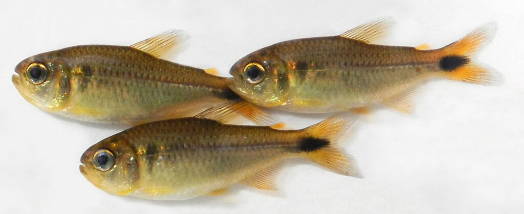 Paratypes of Moenkhausia cambacica, MZUSP 125793, freshly collected, showing other aspects of its live coloration, Brazil, Rondônia State, Municipality of Vilhena, rio Madeira basin, upper rio Machado drainage. CC BY 4.0