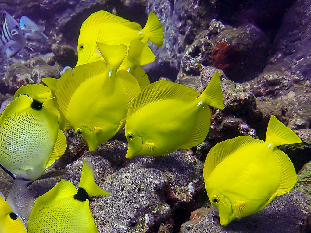 Yellow Tangs (Zebrasoma flavescens) graze on a reef in Hawaii; they are one of just eight species that fishermen are requesting be permitted for aquarium harvest in the West Hawaii marine aquarium fishery. Image credit: Erin Donaldson/Shutterstock