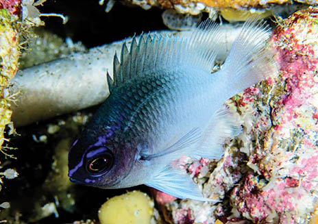 Breathtaking New Caribbean Damsel Species Described