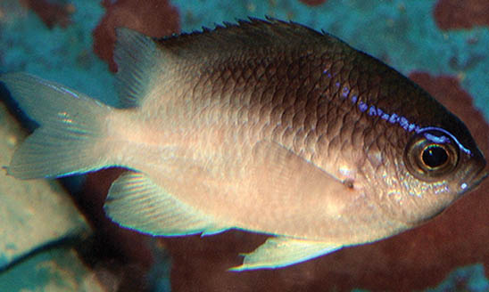 Chromis vanbebberae from Curaçao, nearing the terminal coloration of adulthood. Image by Ross Robertson, CC BY 4.0.