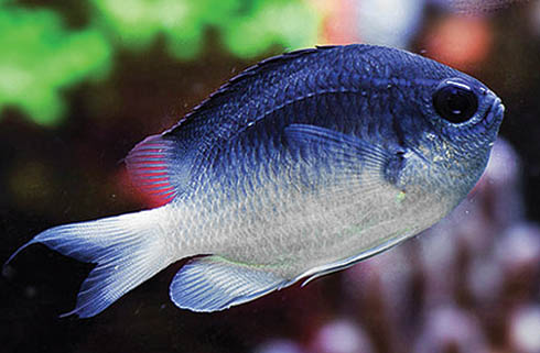 This particular adult Chromis vanbebberae from Curaçao seems to offer a blue vs. brown dorsal coloration; maybe there is hope that some juveniles will mature into colors that more align with this attractive grownup? Image by Yi-Kai Tea, CC BY 4.0
