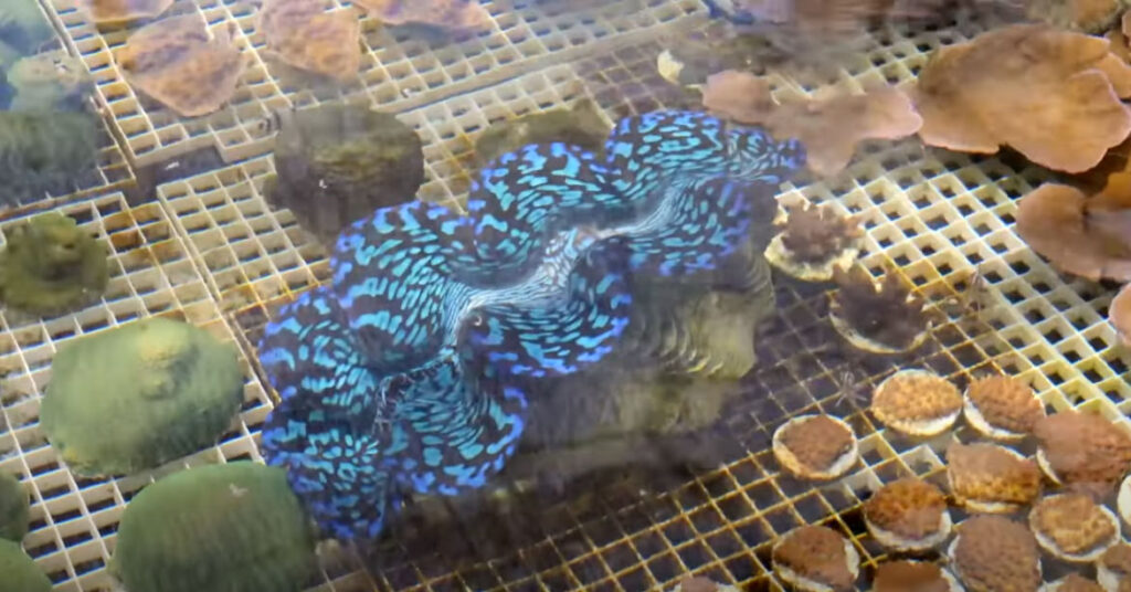 An extremely rare hybrid Tridacna (squamosa X maxima) is one of the true standouts from this video.