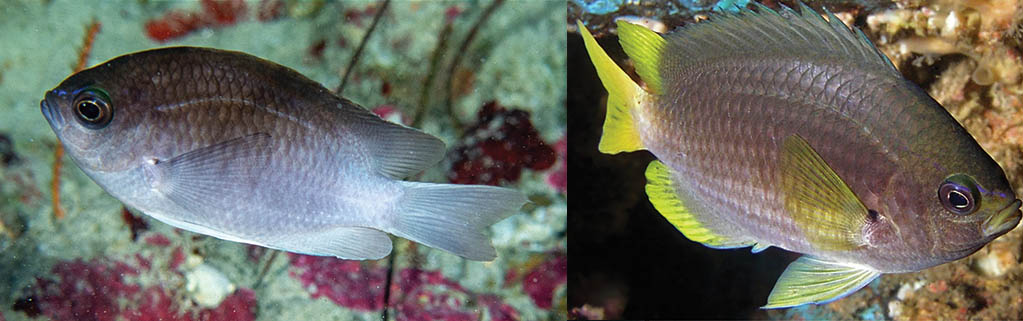 The adult Whitetail Reeffish at right (St. Paul's Rocks, Brazil, by Luiz A. Rocha), and mature Yellowtail Reeffish at left (Gulf of Mexico, by Bob and Carol Cox), are what you can expect when these gorgeous baby fish grow up. CC BY 4.0