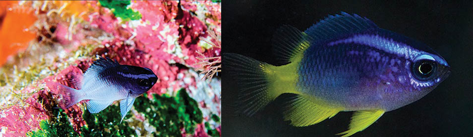 Whitetail Reeffish at left (St. Paul's Rocks, Brazil, by Luiz A. Rocha), Yellowtail Reeffish at right (Florida Keys, by Frank Krasovec). Both offer stunning, bold juvenile coloration, but it doesn't last. CC BY 4.0