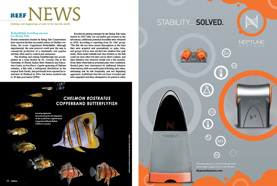 REEF NEWS presents findings and happenings of note in the marine world. In this issue: Our first look at the success in captive-breeding the Copperbanded Butterflyfish, Chelmon rostratus; Scientists find dramatic differences in reef fish species' tolerance to rising water temperatures; Moray eels discovered leaving the sea to hunt and feed on land; Artificial light at night (ALAN) causes increased mortality among juvenile clownfish on nearby reefs.