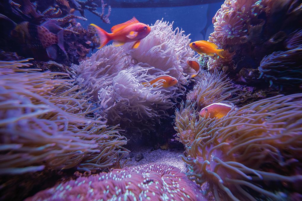 A large Sebae Anemone (Heteractis malu) hosts 11 Tangerine Skunk Clownfish (Amphiprion sandaracinos) while Lyretail Anthias (Pseudanthias squamipinnis) swim overhead.