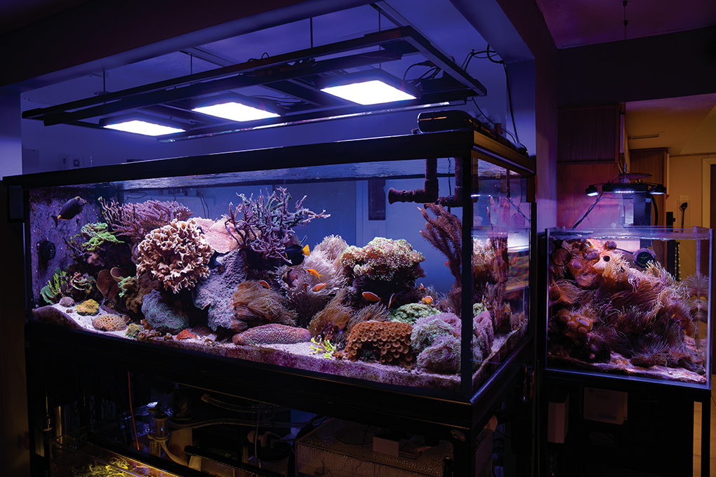 June 2021: The 400-gallon main reef, and the 60-gallon Anemone Cube at right. Both share a common sump; the 60-gallon is fed water by the sump's manifold pump.
