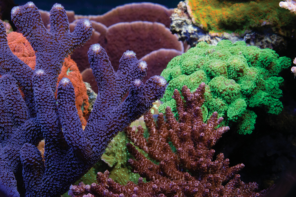 Purple Milka Stylo (Stylophora pistillata) contrasts well with the neighboring corals.