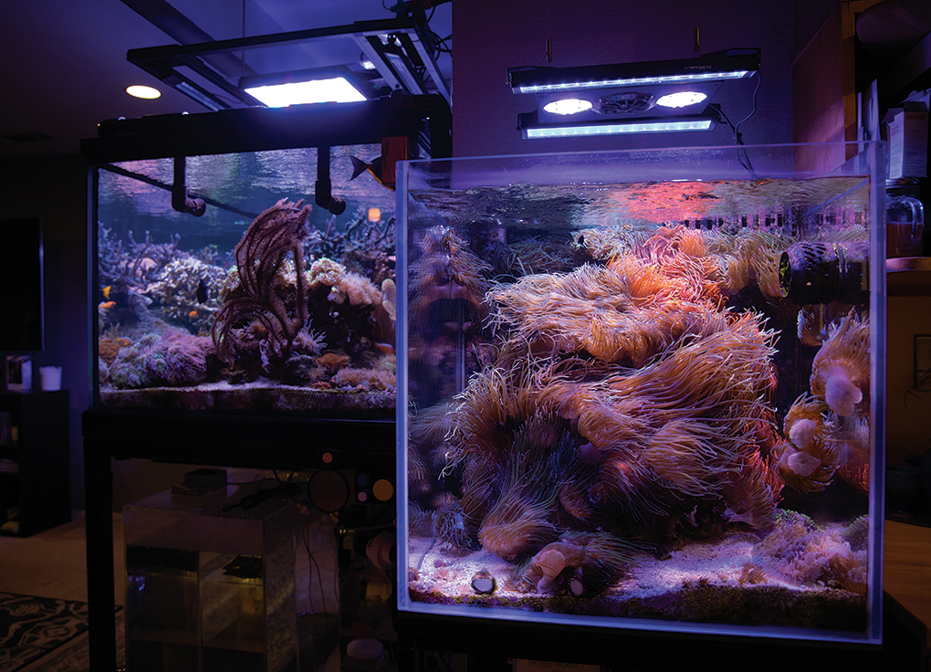 The 60-gallon Anemone Cube is lit with an Ecotech Marine Radion Gen 4 with Reef Brite XHO add-on kit.