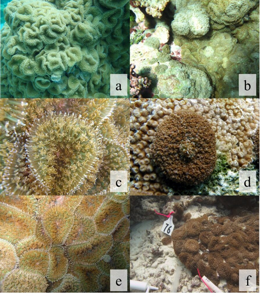 Images of corallimorphs around Palmyra Atoll. The most prominent invader is apparently an unidentified species of Rhodactis, similar to a species found in the waters around Okinawa. Images: University of Hawai'i at Manoa.