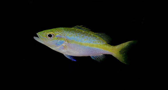 Captive-bred Yellowtail Snapper For BIG Tanks!